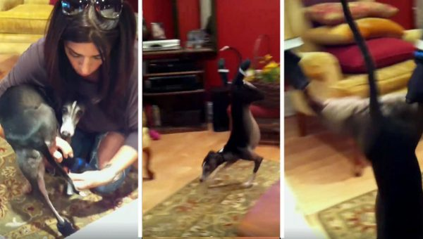 Diva Italian Greyhound Just Can't Handle Winter Booties [Video]