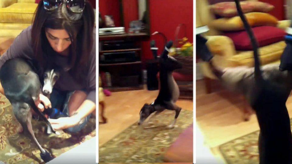 Diva Italian Greyhound Just Can T