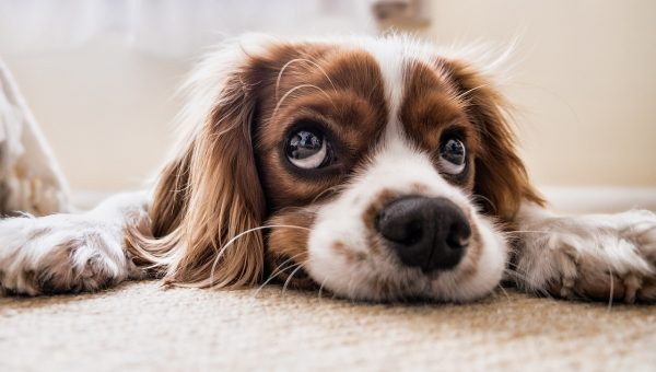 Is Your Dog Anxious? Look for These Signs