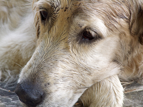 do dogs cry about dog tears
