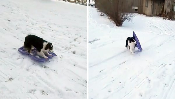 This Dog Loves Sledding Solo and We're Impressed [Video]