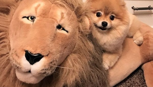Tiny Pom Plays with Giant Stuffed Lion Like It's Her Cat BFF [Video]
