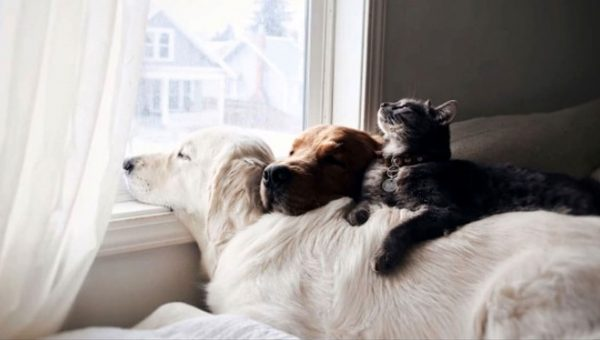 Two Golden Retrievers Share a Cat Best Friend and It's Adorable
