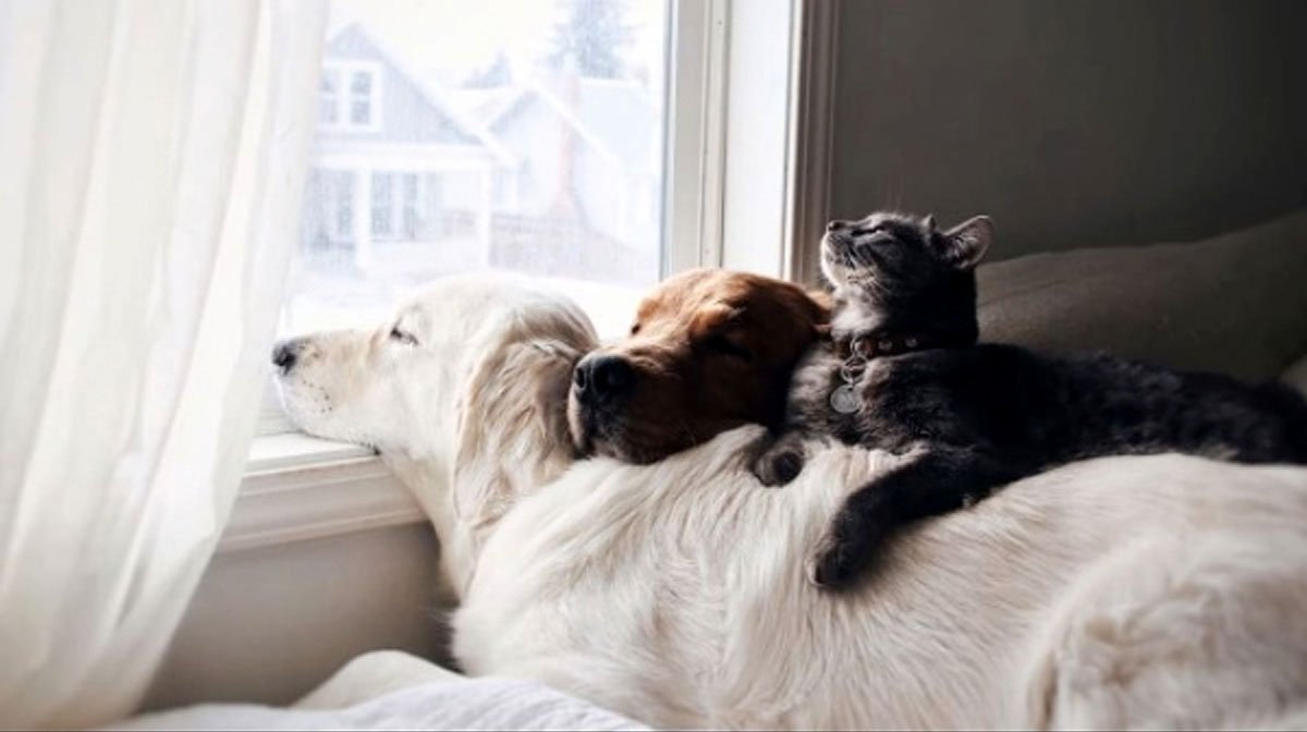 Two Golden Retrievers Share A Cat Best Friend And It S
