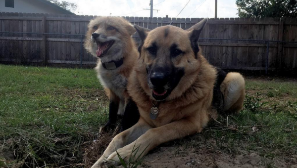 Little Fox and German Shepherd Are BFFs Through Thick and Thin