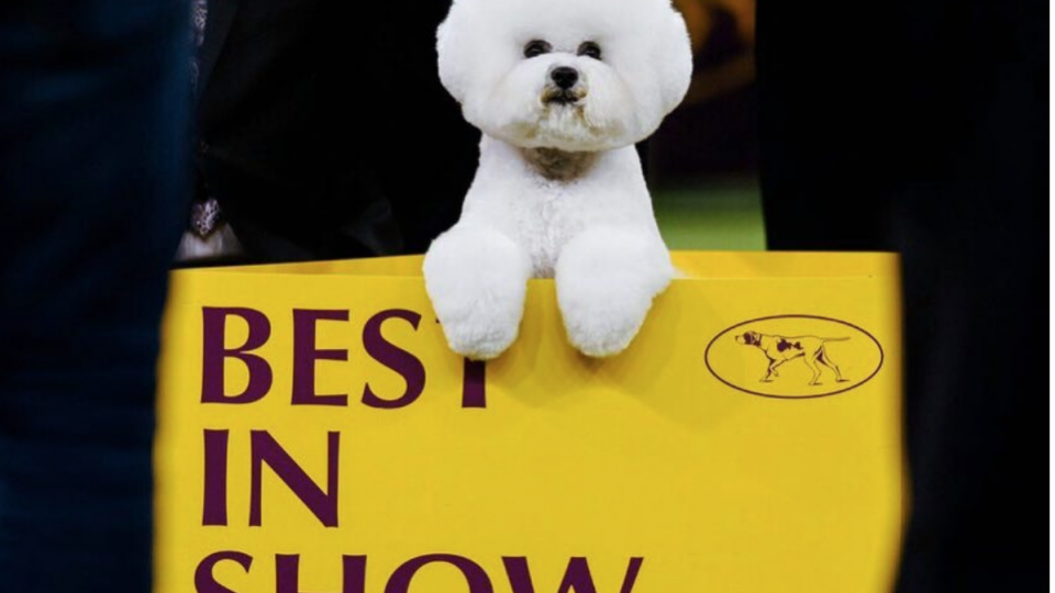 best in show bichon frise westminster