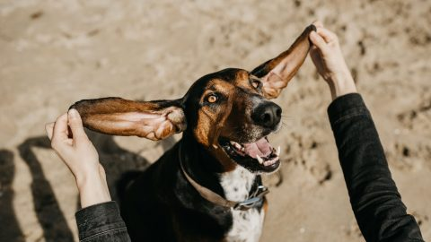 A funny dog looking at the camera with its large ears spread out wide by human hands