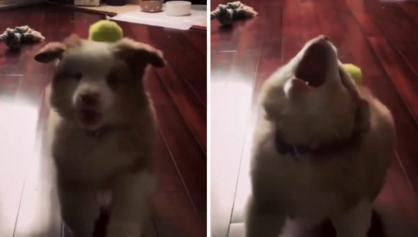 This Puppy Trying to Learn Fetch Is All of Us Just Trying Our Best [Video]