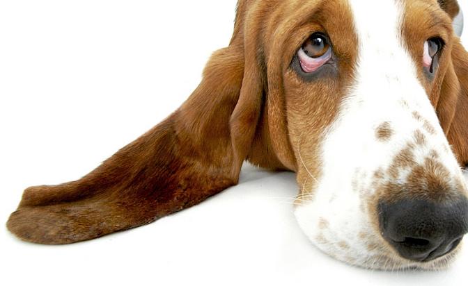 Most Inspiring Floppy Ears Brown Adorable Dog - basset-hound  You Should Have_527455  .jpg