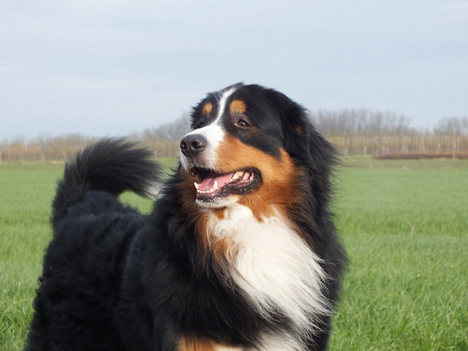 5 facts bernese mountain dog lovers know by heart the dog people by. Black Bedroom Furniture Sets. Home Design Ideas