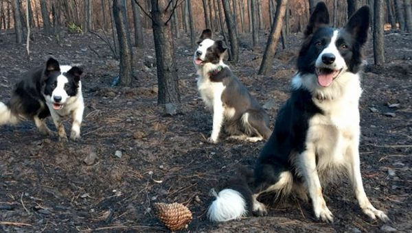 Border Collies Are Helping Re-seed Chile's Fire-Ravaged Forests [Video]