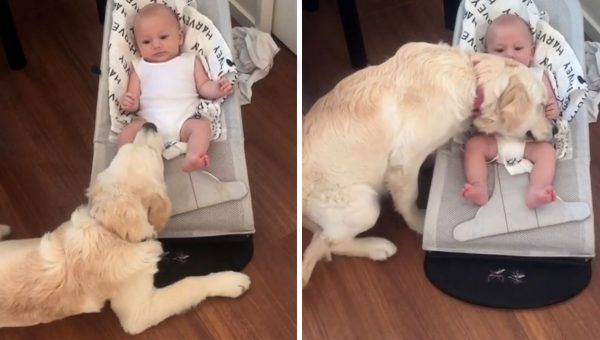 Golden Retriever Meets Baby and It's Love at First Sight [Video]