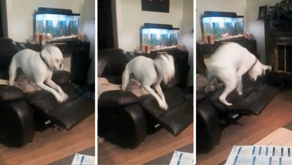 This Boxer Dog Is Going to Defeat the Chair Footrest No Matter What [Video]