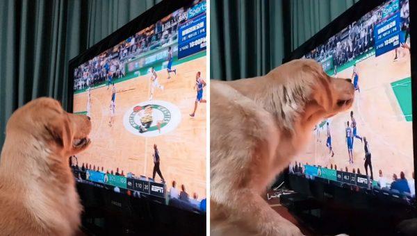 Sport-Loving Golden Retriever Follows Ball Around the Screen During Games [Video]
