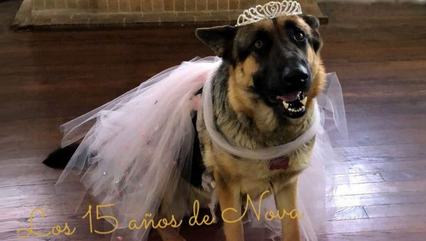 German Shepherd's Quinceañera Party Is the Sweetest Thing