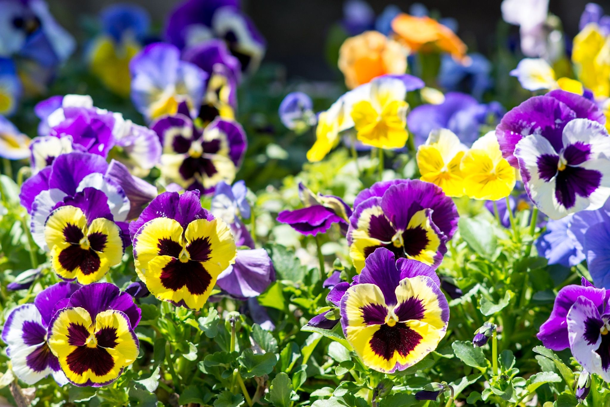 10 of the safest flowers for dogs you can buy or grow the dog lively and sweet these wonderful flowers are not only non toxic for dogs theyre apparently also tasty pansies come in a rainbow of colors including blue izmirmasajfo