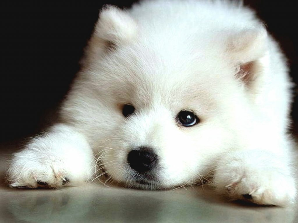 Puppies That Look Like Panda Bears