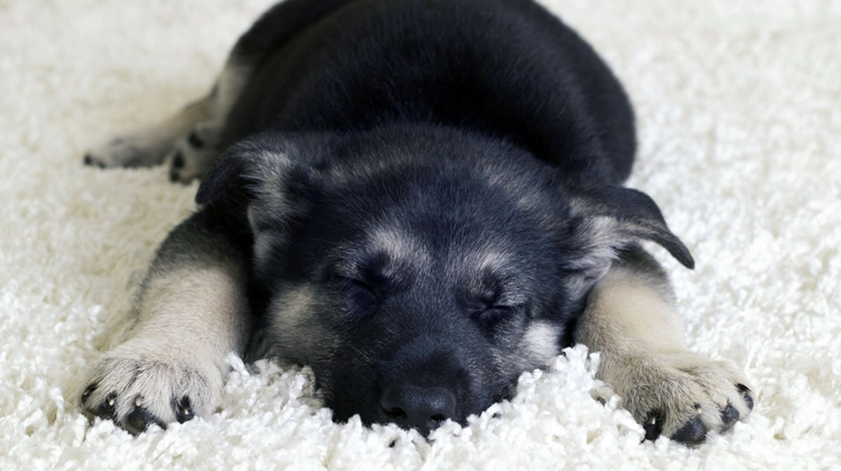 How To Get A Puppy To Sleep Through The Night 8 Tips For Success