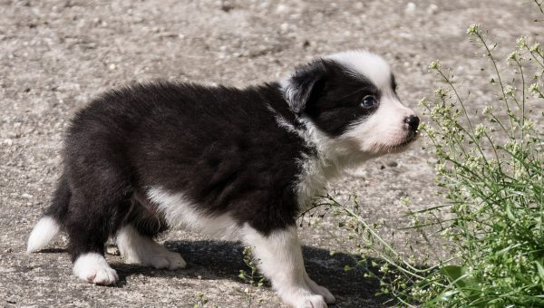 Just Watch These Border Collie Puppies Meet Sheep for the First Time