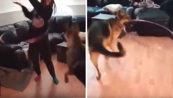 German Shepherd Steals Hula Hoop and Tries His Very Best [Video]