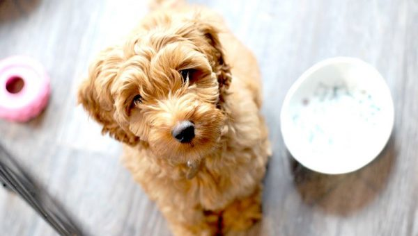 11 Facts That Only Labradoodle People Know by Heart
