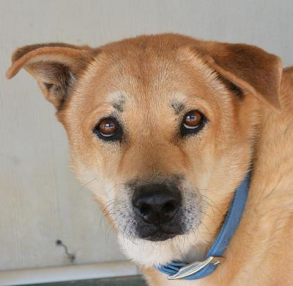 please adopt lucas, bulverde animal shelter