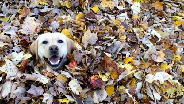 Watch This Dog Jump into Piles of Leaves and Just Try Not to Smile