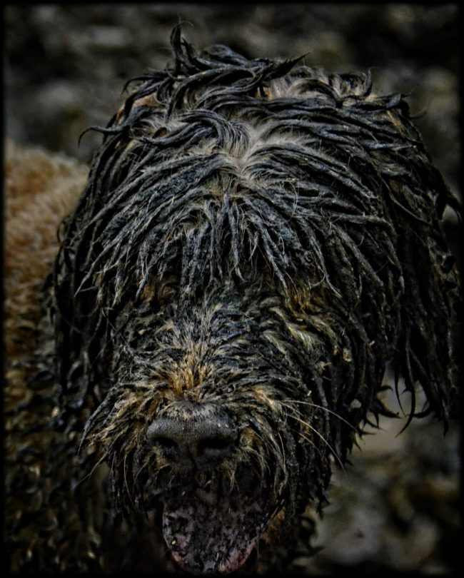 muddy doodle dog
