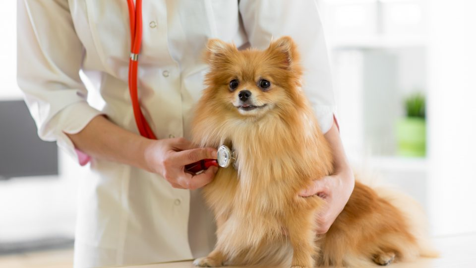 Congestive Heart Failure in Dogs: Symptoms, Treatment, and