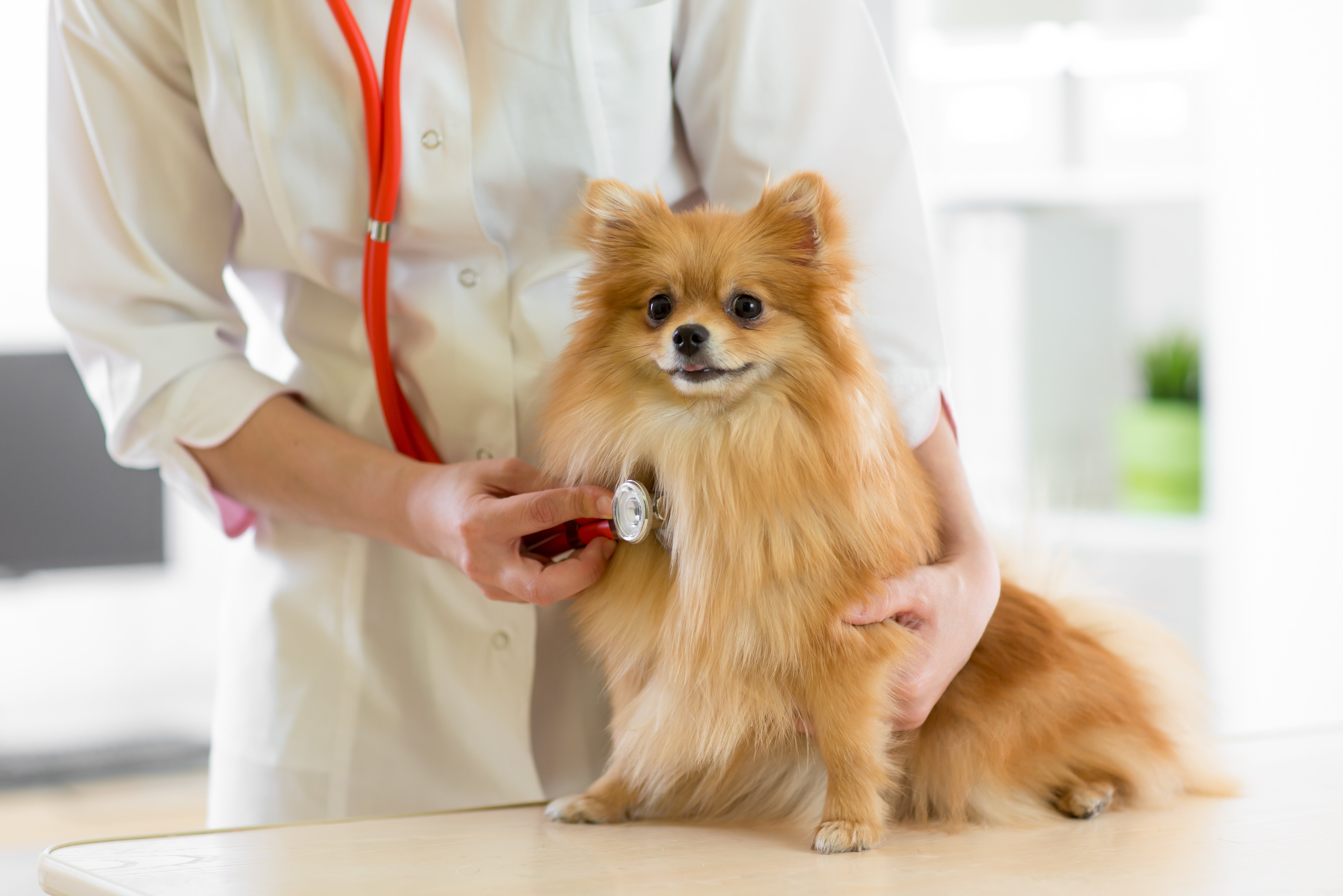 Congestive Heart Failure In Dogs Symptoms Treatment And