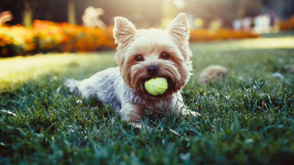 yorkshire terrier people