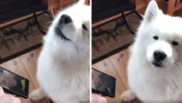 Samoyed Sings Saddest Song to Dad via FaceTime [Video]