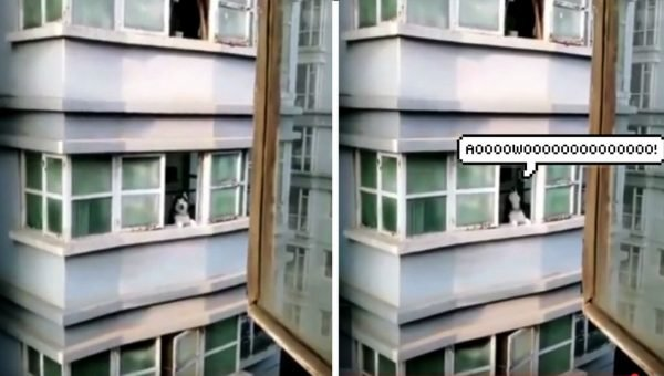 Husky Returns Man's Howl from Apartment Across the Street [Video]