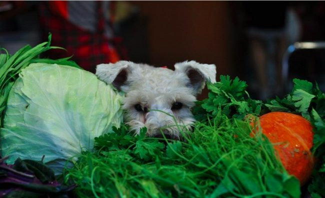 i and love and you schnauzer cabbage parsley