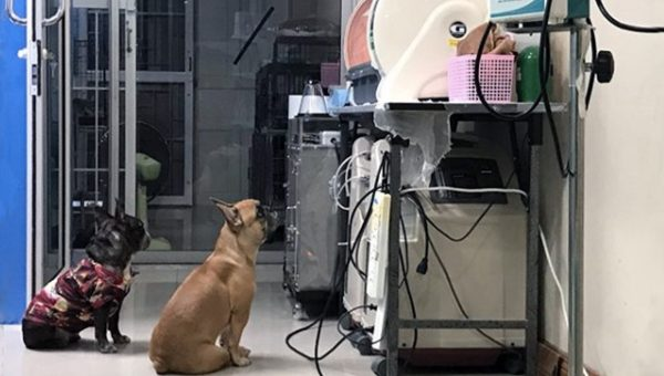 Sweet Video of Frenchie Keeping Watch Over Puppies in Incubator Goes Viral