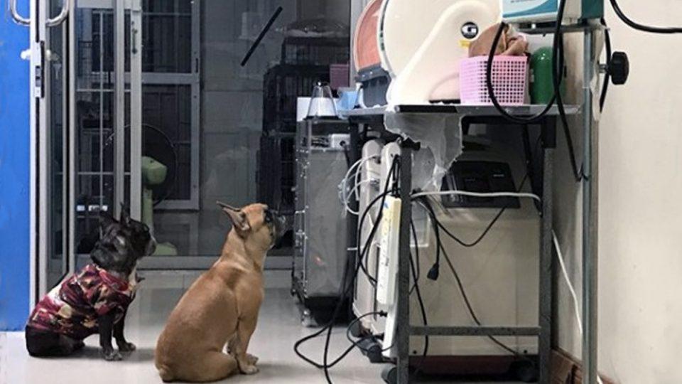 night nurses frenchies chihuahua puppies incubator HERO