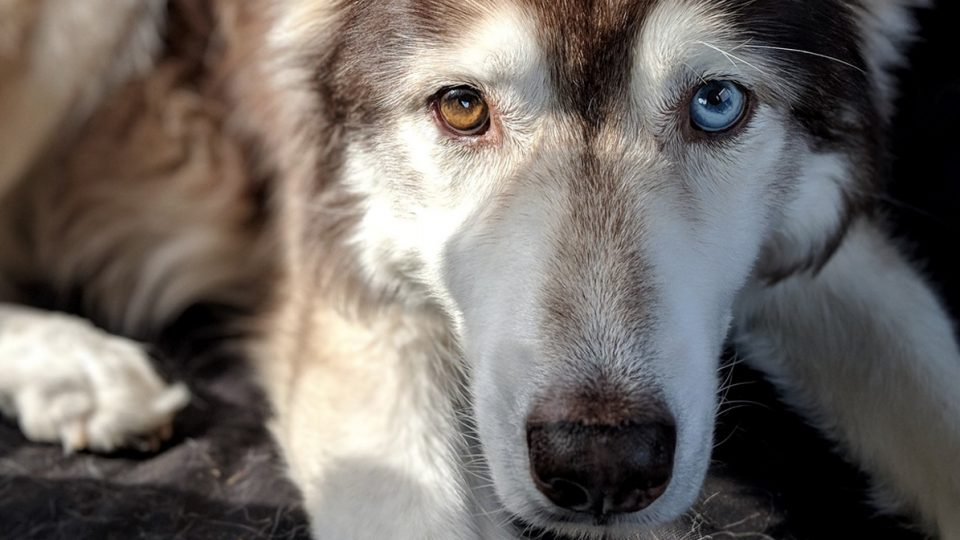 saddest awoo husky is trying to break your heart HERO