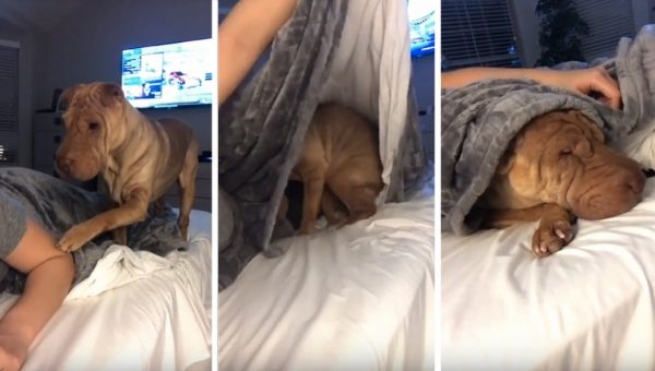 Sweet Shar-Pei Politely Asks to be Tucked into Bed Each Night [Video]