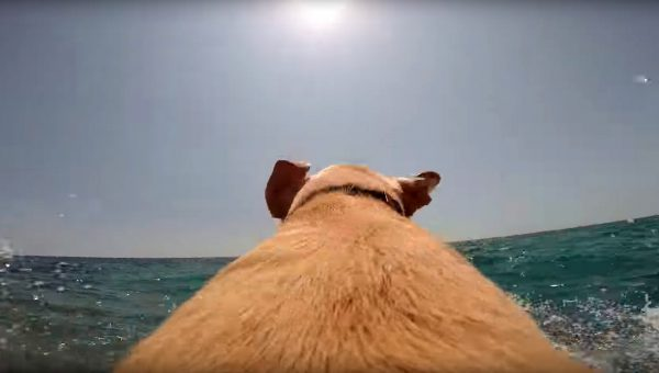 Get an Amazing Dog's Eye View with Walter the Water-Loving Lab [Video]