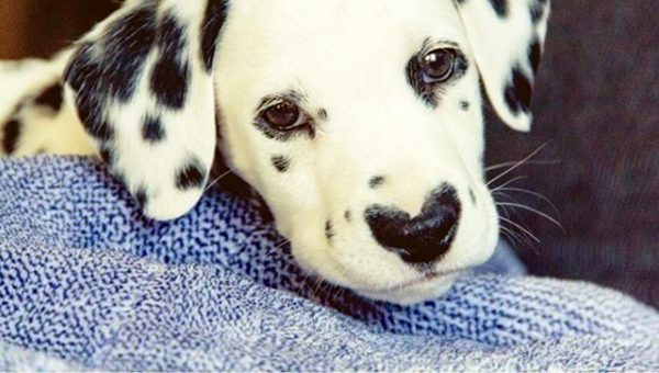 Dalmatian Puppy with Heart Nose Is Too Cute for Words