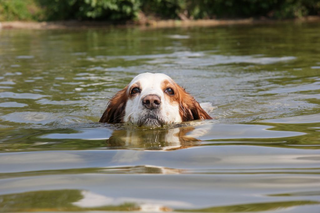 A dog swims in water, only her head above the waterline.