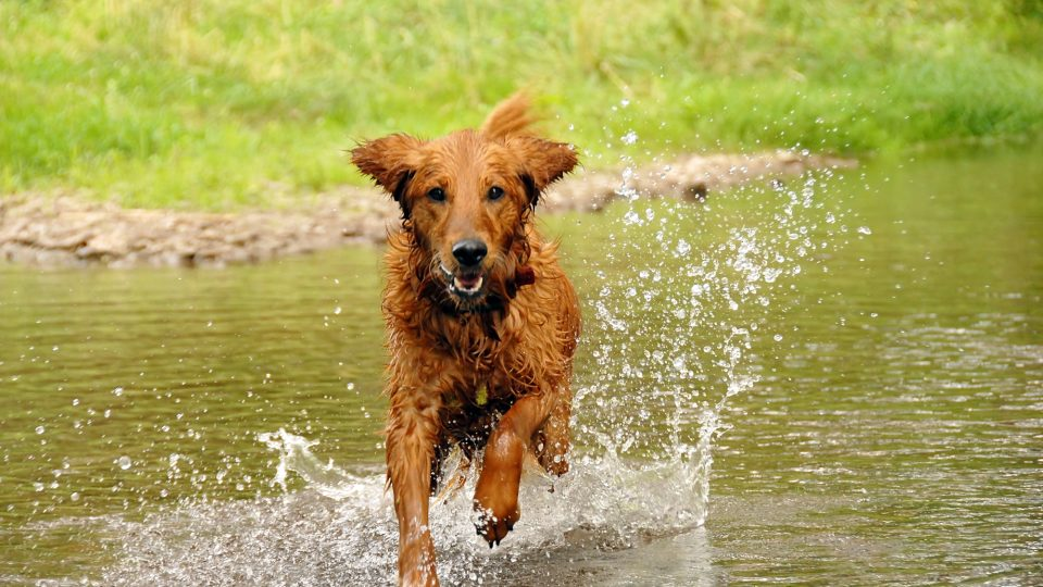 A dog happily runs in a river
