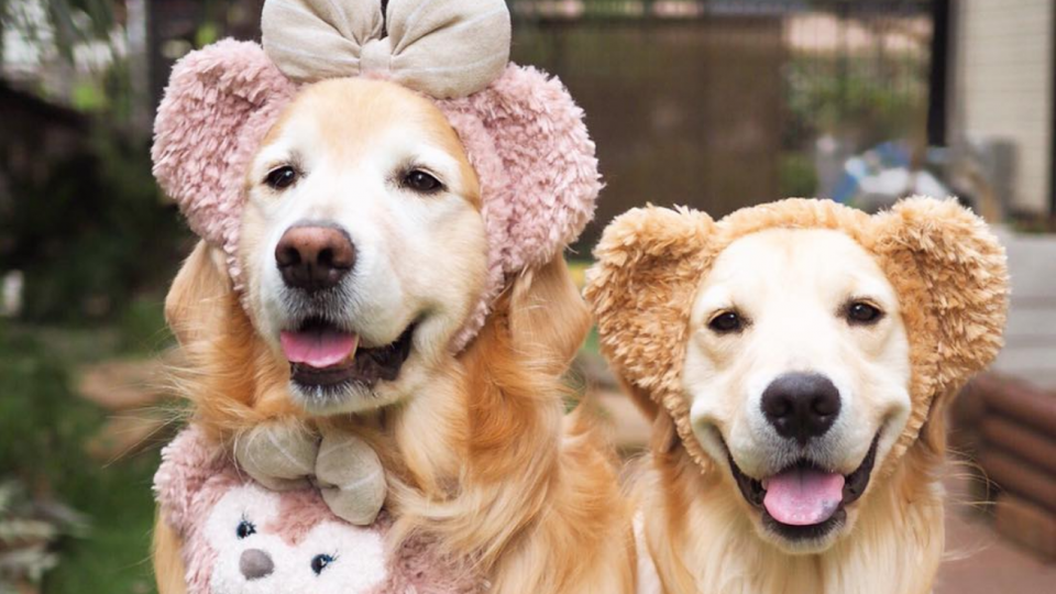 two golden retrievers in cute costumes