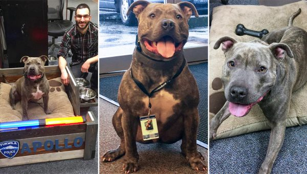 Abandoned Pit Bull Saved by Police Force Becomes Star K-9 Officer