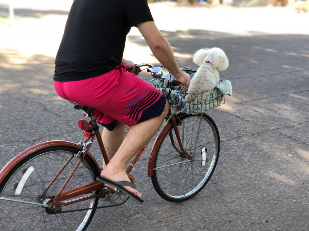 A miniature poodle rides in the basket of a bike being ridden down the street.