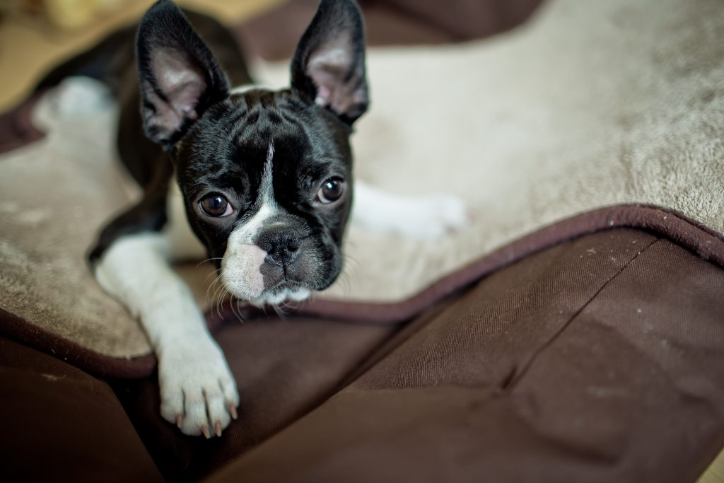 A Boston Terrier digs at her bed.