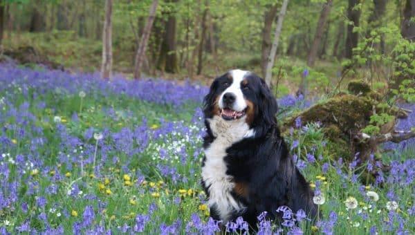 Maak kennis met de Berner Sennenhond: Ras, Geschiedenis, Gezondheid en Karakter