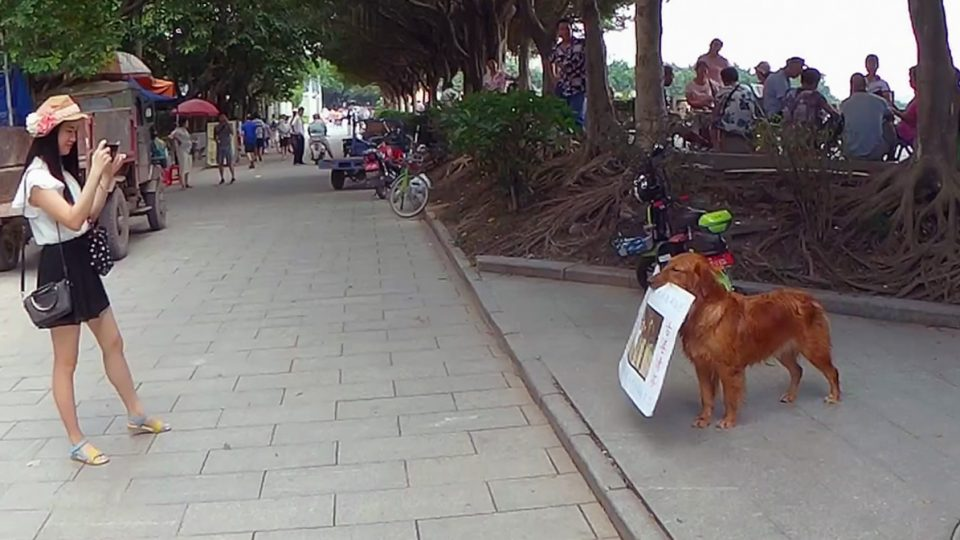 dog with job golden retriever china HERO