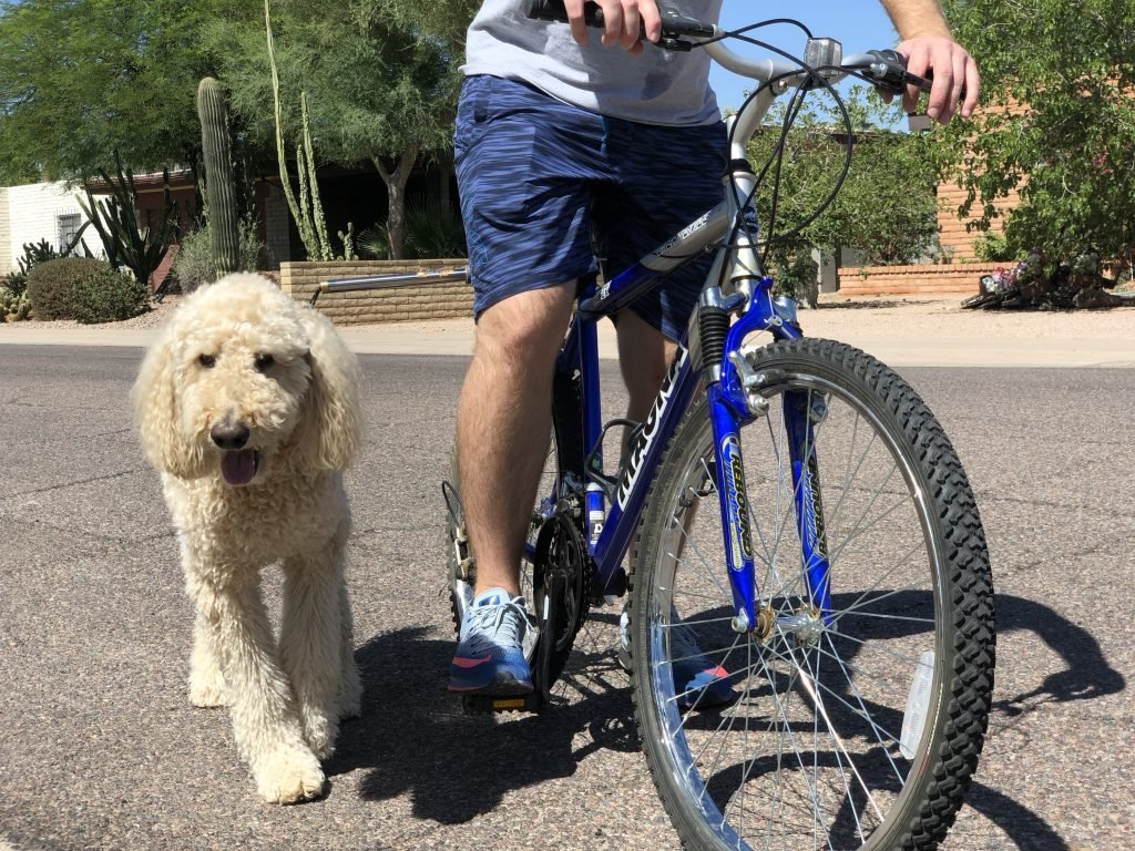 A Labradoodle smiles as he walks next to a bike using a bike leash.