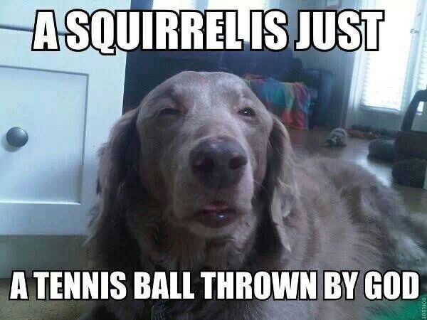 dog meme a-squirrel-is-just-a-tennis-ball-thrown-by-god-01